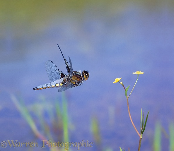 Broad-bodied Chaser Dragonfly (Libellula depressa) male, hovering over a pond