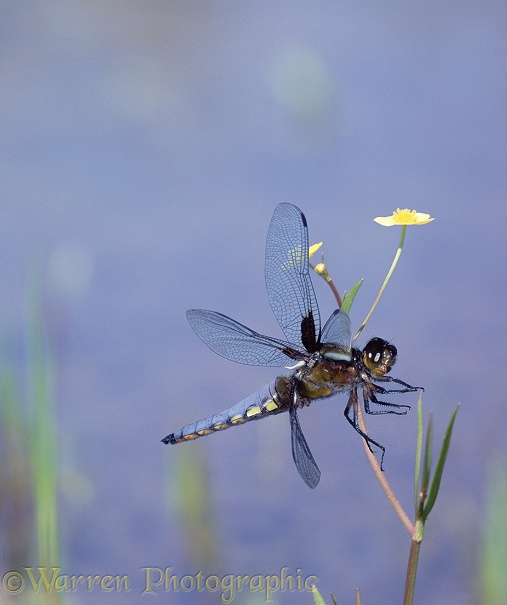 Broad-bodied Chaser Dragonfly (Libellula depressa) male, landing on a buttercup.  Europe