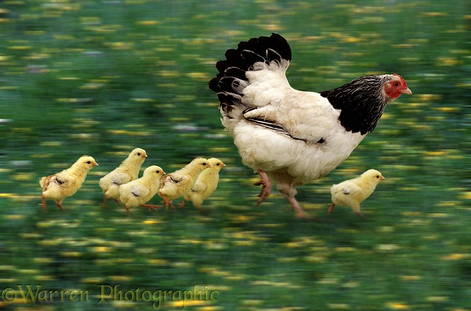 Hen and chicks running along