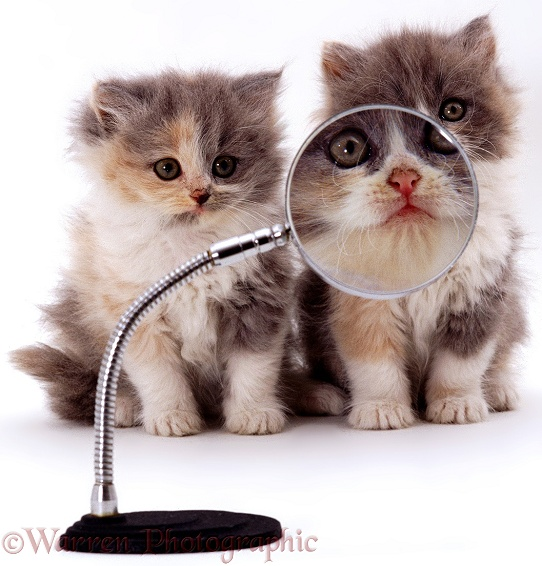 Kittens & magnifying glass, white background