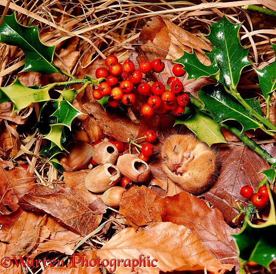 Dormouse (Muscardinus avellanarius) asleep among hazel nuts and holly berries