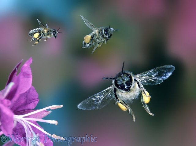 Honey Bee (Apis mellifera) workers approaching a Rosebay flower