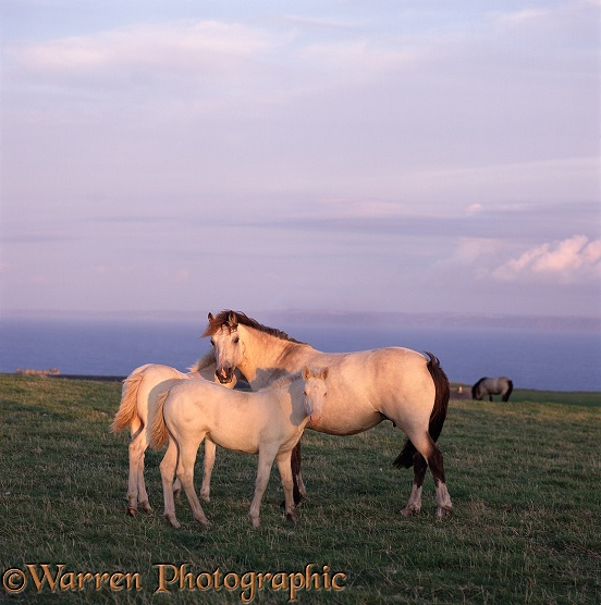 Lundy Mare and Foals. Originally a cross between Welsh Mountain and New Forest Ponies, now a recognised and rare breed.  Lundy Island, England