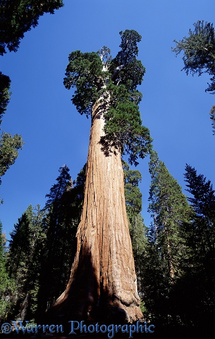 'General Grant' Giant Sequoia (Sequoiadendron giganteum).  California, USA