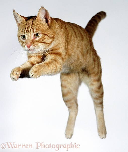 Leaping ginger cat, white background