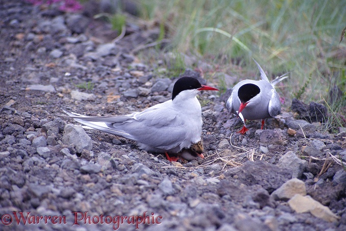 A pair of Arctic Terns (Sterna paradisaea) feeding their chick