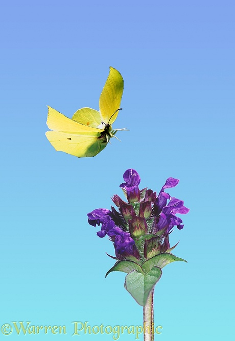 Brimstone Butterfly (Gonepteryx rhamni) male about to alight on Selfheal flower.  Europe