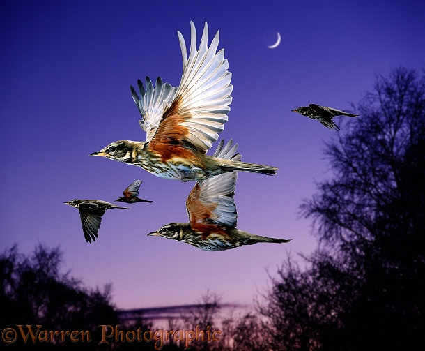 Redwings (Turdus iliacus) migrating at night.  Europe