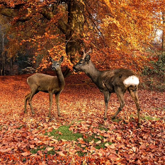 Roe Deer (Capreolus capreolus) pair in autumn beech wood.  Europe
