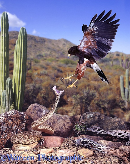Harris' Hawk (Parabuteo unicinctus) attacking a rattlesnake.  North America