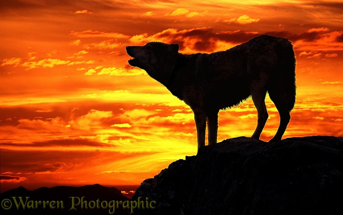 Wolf (Canis lupus) howling at sunset