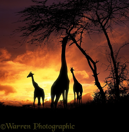 Giraffe (Giraffa camelopardalis) group at sunset.  Africa