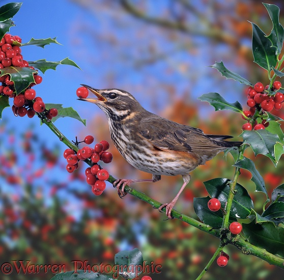 Redwing (Turdus iliacus) eating holly berries.  Europe