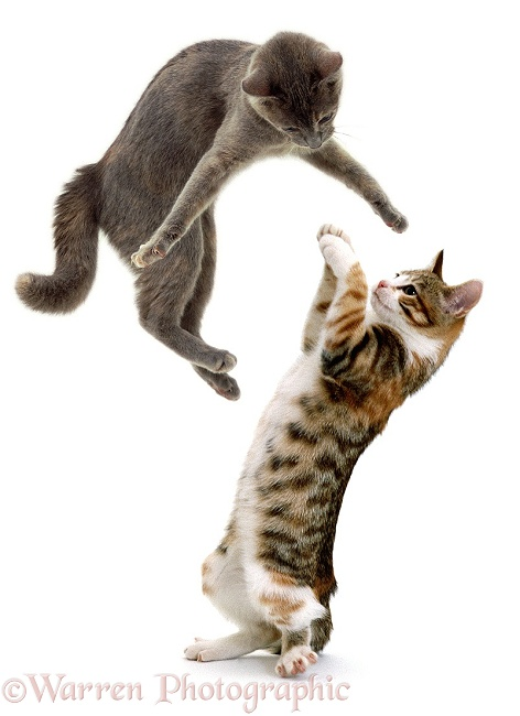 Cats, leaping and playing, white background