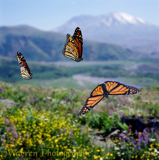 Monarch Butterflies (Danaus plexippus) on migrational flight in North America