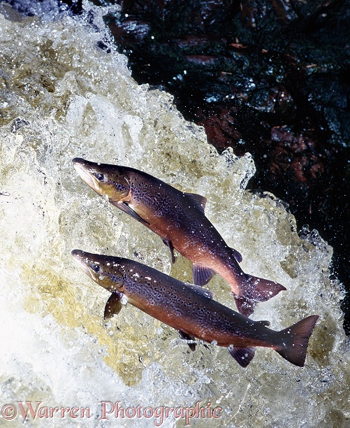 Atlantic Salmon (Salmo salar) males in breeding colours leaping a waterfall in Scotland