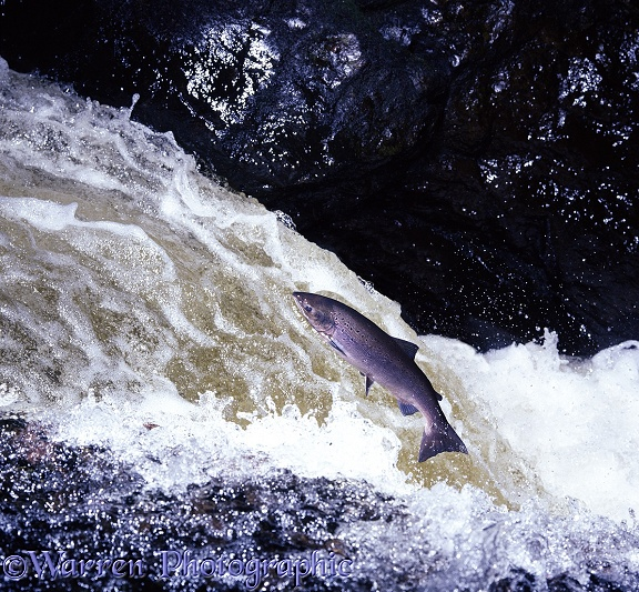 Atlantic Salmon (Salmo salar) female in breeding colours leaping a waterfall