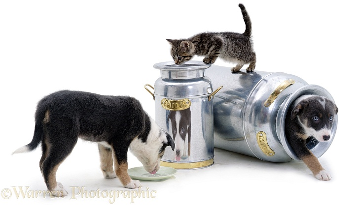 Two Border Collie puppies and a kitten playing around milk churns, white background