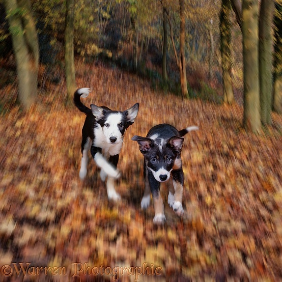 Border Collie puppies running trough autumn leaves