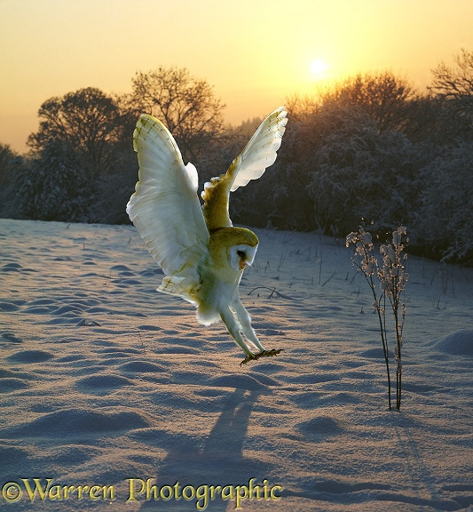 A Barn Owl (Tyto alba) alights on fresh snow at sunset