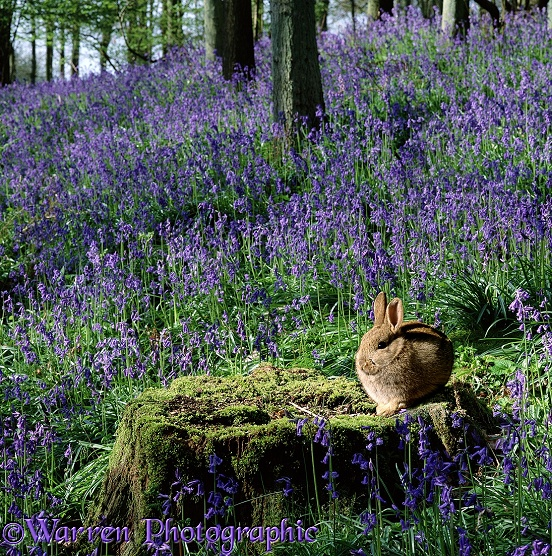 Young Rabbit (Oryctolagus cuniculus) in bluebell woods.  Surrey, England