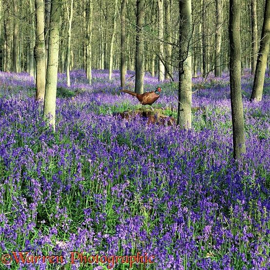 Game Pheasant (Phasianus colchicus) among Bluebells