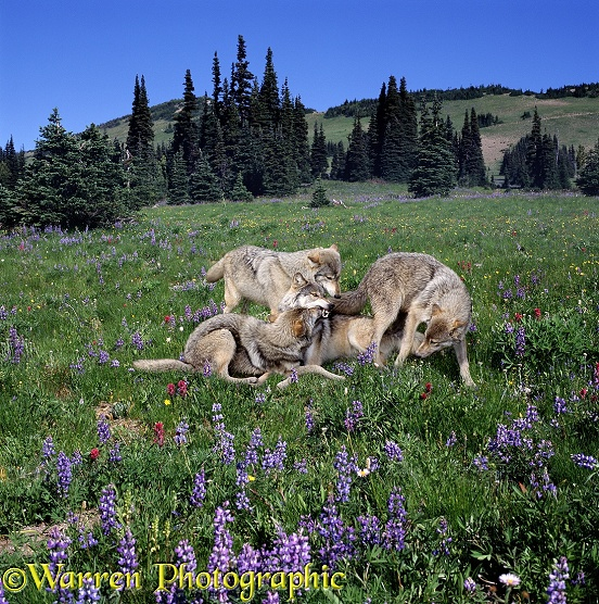 Grey Wolf (Canis lupus) family among lupines. Submissive juveniles plague their mother, muzzle-bumping/food soliciting.  Europe, Asia and N. America