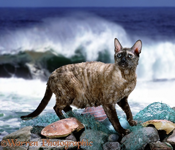 Tortoiseshell Devon Rex cat on the sea wall