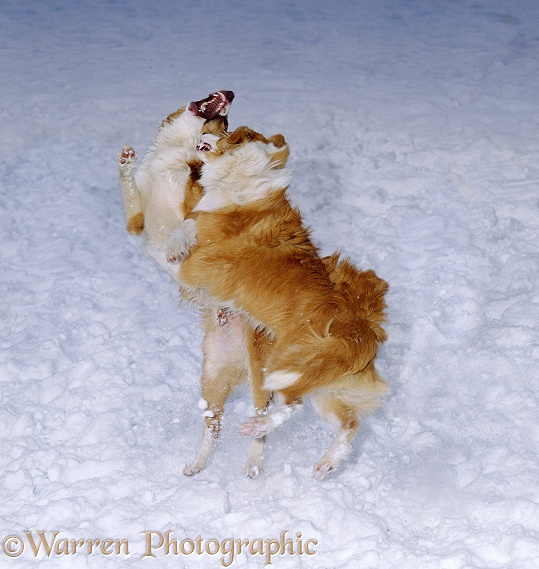 Sable-and-white Border Collies, fighting in snow