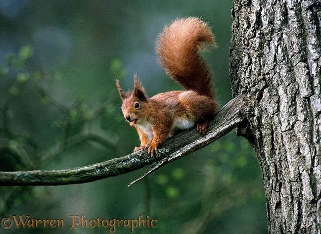 Red Squirrel (Sciurus vulgaris) with nut in its mouth.  Europe