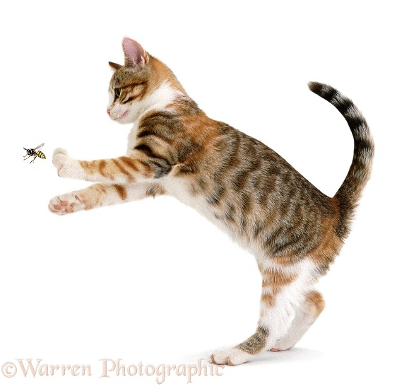 Young torbie cat, trying to catch a wasp, white background