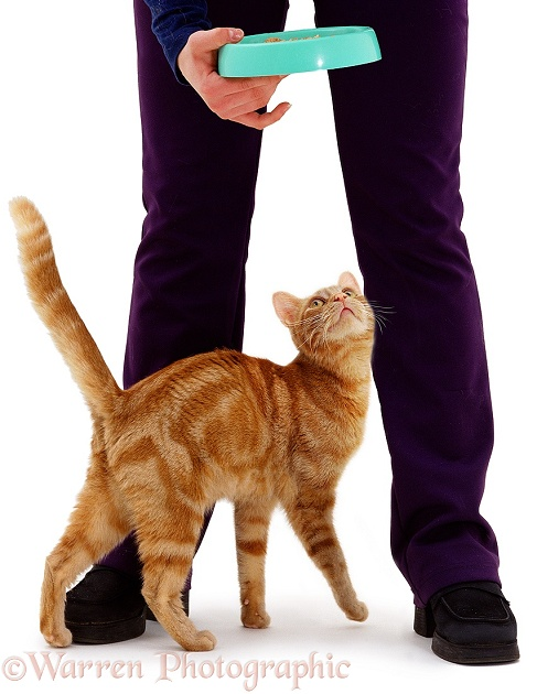 'Affectionate' ginger female cat, Lucky, rubbing round her owner's legs, white background