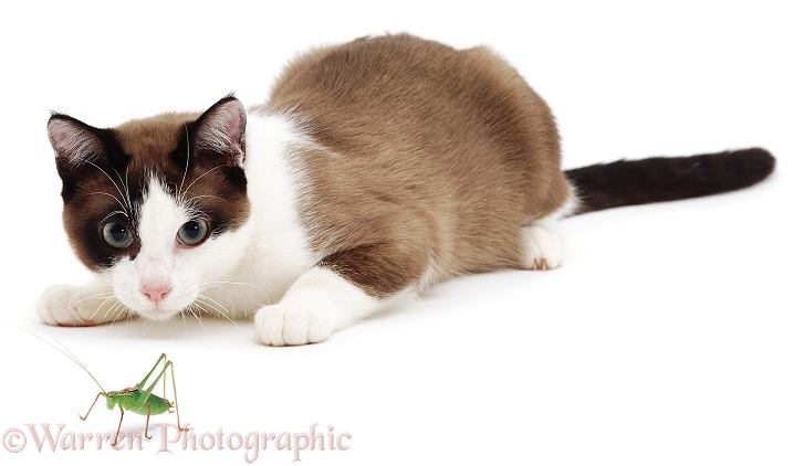 Crouching cat looking at a Cricket, white background