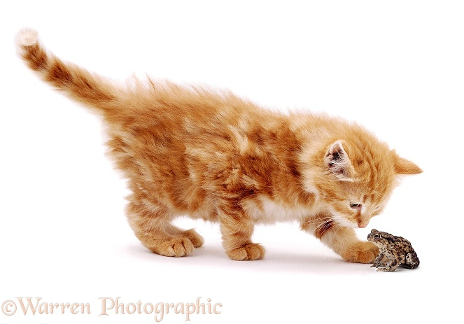 Kitten inspecting a Toad, white background