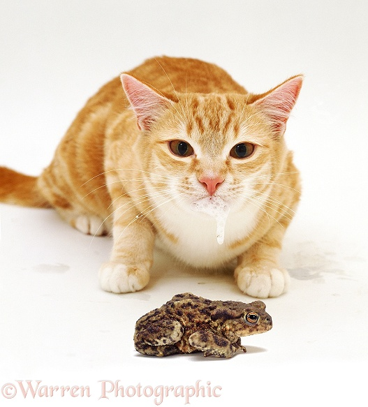A cat frothing at the mouth after tasting a toad, white background