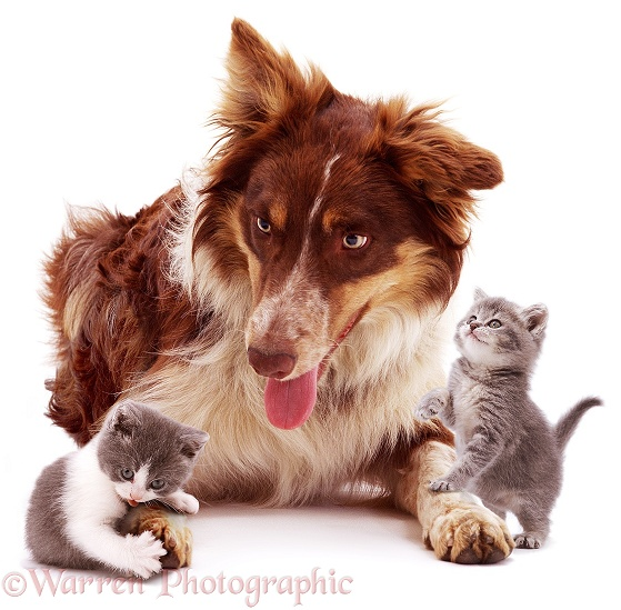 Red tricolour Border Collie Chester, with playful kittens, white background