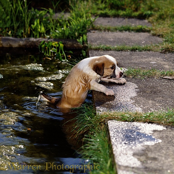 Sable Border Collie, Jack, trying to climb out of a pond. 44 days old