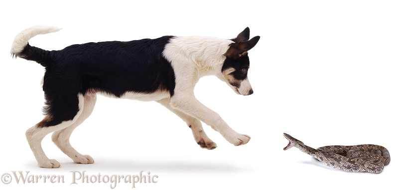 A Border Collie Pup leaps back to avoid a striking Rat Snake (Elaphe obsoleta), white background