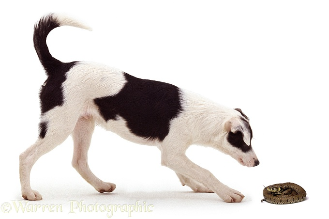 Border Collie puppy inspecting a Grass Snake (Natrix natrix), white background