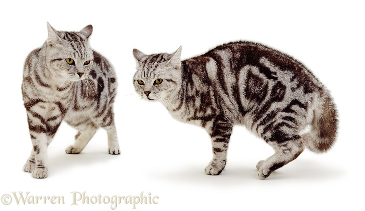 Full aggressive display of male silver tabby cat, ears back, mean stare, tail fluffed, ominous prowl, white background