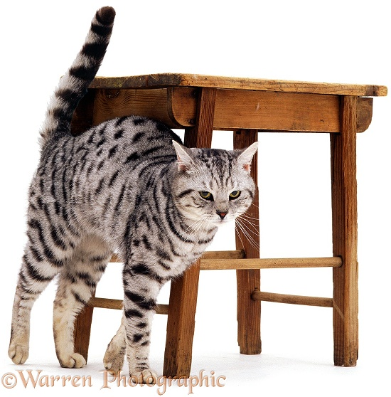 Silver tabby cat, Zorro, rubbing against stool, white background