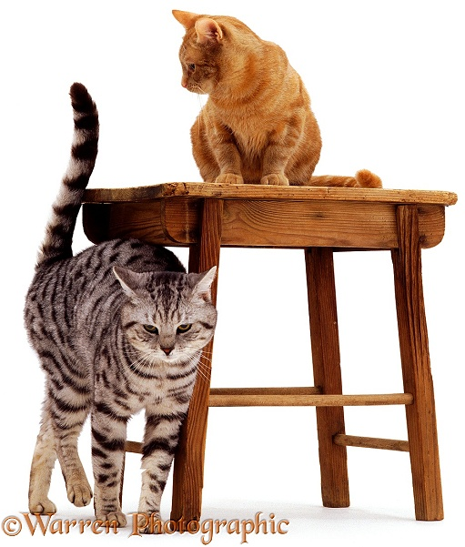 Silver Tabby cat, Zorro, rubbing against stool in preparation for spraying (scent-marking with urine), white background