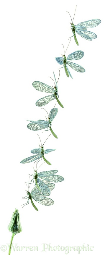 Green Lacewing (Chrysoperla carnea) taking off from a hawkweed bud. Seven images at 20 millisecond intervals, white background