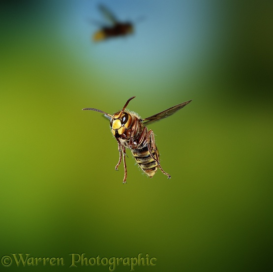 Hornet (Vespa crabro) worker, approaching the nest.  Europe