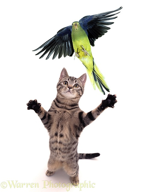 Parakeet escaping Grasping Cat, white background