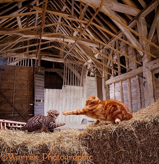 A pair of farmyard cats fighting in a barn