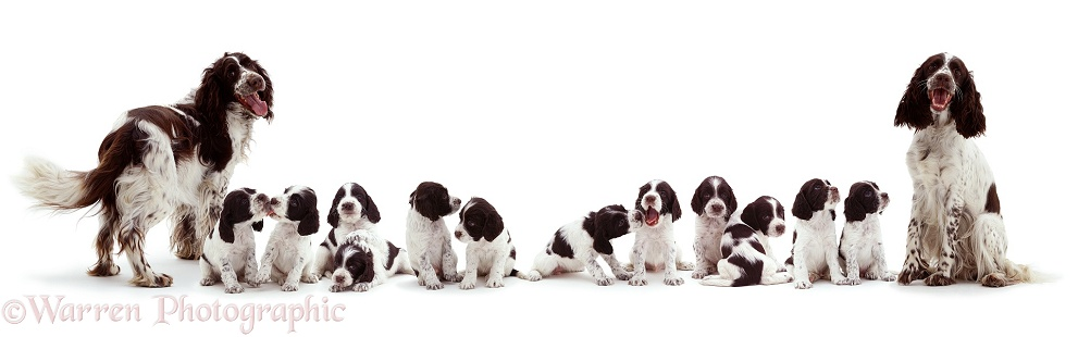 English Springer Spaniel family, white background