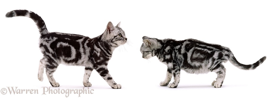 Healthy (left) and Sick (right) Silver Tabby kitten siblings. (Feline Infectious Peritonitis), white background