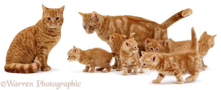 British Shorthair Red Spotted father cat, Highlander, and mother cat, Lucky, with their 6 week old kittens, white background