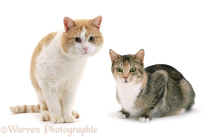 Male cat Butch and female cat Pansy, white background